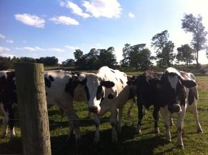 cows2