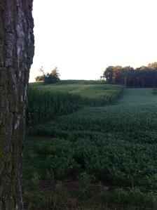 cornfield side