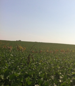 corn and soybean2