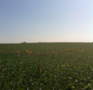 corn in soybean