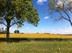 The golden field on Sunday