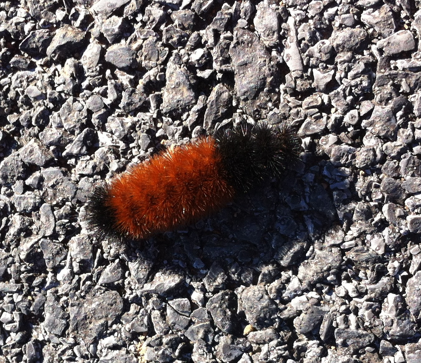 All Black Woolly Bear Caterpillars: 365 Reasons To Smile – Day 113
