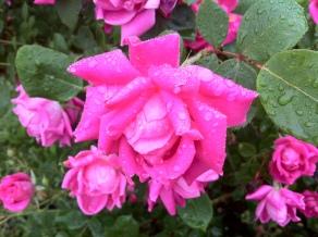 raindropsonroses2